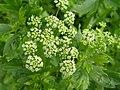 唐芹 Apium graveolens v secalinum -香港西貢獅子會自然教育中心 Saikung, Hong Kong- (9213309001).jpg