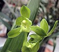 報歲素心荷瓣 Cymbidium sinense 'Plain Lotus' -香港沙田國蘭展 Shatin Orchid Show, Hong Kong- (12247875283).jpg