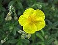大花半日花 Helianthemum nummularium v grandiflorum -波蘭華沙 Powsin PAN Botanical Garden, Warsaw- (36396103222).jpg