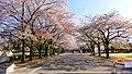 小瀬スポーツ公園の桜並木 - panoramio (1).jpg