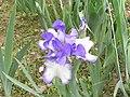 德國鳶尾-中型 Iris germanica 'Bold Print' -北京植物園 Beijing Botanical Garden, China- (9255191138).jpg