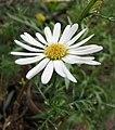 木茼蒿屬 Argyranthemum adauctum -哥本哈根大學植物園 Copenhagen University Botanical Garden- (37042523615).jpg