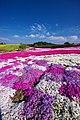 松本つつじ園 芝桜 - panoramio.jpg