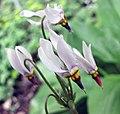 流星花屬 Dodecatheon jeffreyi -比利時 Ghent University Botanical Garden, Belgium- (9226996367).jpg