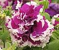 碧冬茄(矮牽牛)-重瓣 Petunia Double Pirouette Purple -香港北區花鳥蟲魚展 North District Flower Show, Hong Kong- (9252404817).jpg