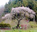 立石稲荷のしだれ桜 - panoramio.jpg