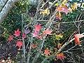 紅葉 Red Leaves - panoramio (2).jpg
