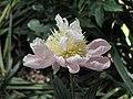 芍藥-宏荷飛霜 Paeonia lactiflora 'Grand Lotus with Flying Frost' -上海植物園 Shanghai Botanical Garden- (12380140915).jpg