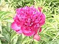 芍藥-紅羽球 Paeonia lactiflora 'Red Feathery Ball' -瀋陽植物園 Shenyang Botanical Garden, China- (12403739235).jpg