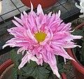 菊花-大紫雁 Chrysanthemum morifolium 'Big Purple Wild Goose' -中山小欖菊花會 Xiaolan Chrysanthemum Show, China- (11961470533).jpg