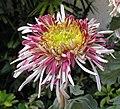 菊花-銀鼠 Chrysanthemum morifolium 'Silver Mouse' -香港圓玄學院 Hong Kong Yuen Yuen Institute- (12099274503).jpg