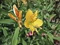 野生六出花 Alstroemeria aurea -牛津大學植物園 Oxford Botanic Garden- (9216112482).jpg