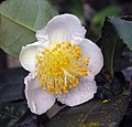 龍井茶 Camellia sinensis 'Longjing' -香港動植物公園 Hong Kong Botanical Garden- (9240276638).jpg