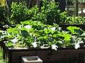 -2020-06-23 Raised bed of Courgette plants, Trimingham, Norfolk.JPG