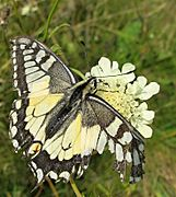005 Papilio machaon.jpg
