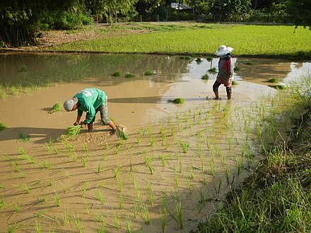 Filipinos planting rice. Agriculture employs 30% of the Filipino workforce as of 2014 . 0123jfCalipahan Sicsican Rice Fields San Pascual Talavera Ecijafvf 04.JPG