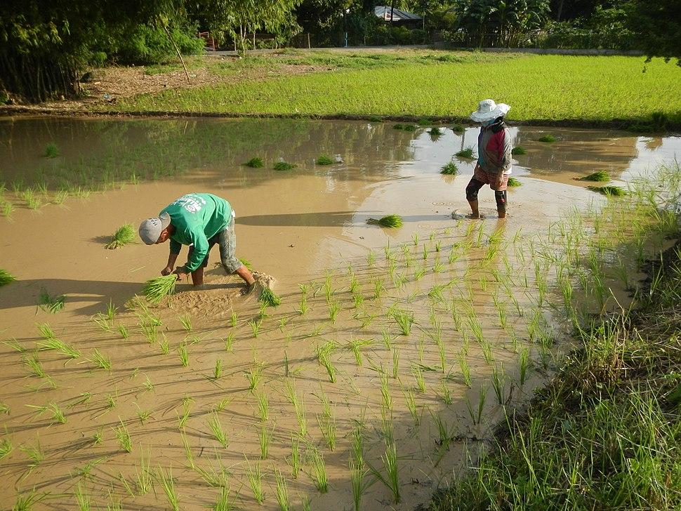 0123jfCalipahan Sicsican Rice Fields San Pascual Talavera Ecijafvf 04