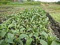 0152jfVegetable plantations Taal Pulilan Bulacanfvf 02.jpg
