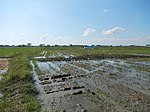 03306jfBirds Sanctuary Ducks Wetland Marshes Rice Fields Candaba Pampangafvf 09.JPG