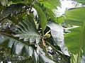 04224jfSanto Rosario La Purisima Artocarpus altilis Aliaga Nueva Ecijafvf 18.JPG