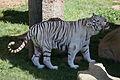 08-2011. Panthera tigris tigris - Texas Park - Lanzarote -TP07.jpg