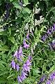 0 Campanula rapunculoides - Yvoire.jpg
