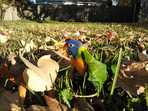 Rainbow lorikeet - A 12-week-old female rainbow lorikeet in a back yard in Sydney