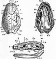 1911 Britannica - Batrachia - Ichthyophis glutinosus.png