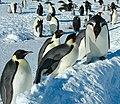 2007 Snow-Hill-Island Luyten-De-Hauwere-Emperor-Penguin-86.jpg