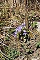 2007 viola reichenbachiana.jpg