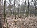 2009-04 Санітарними рубками намагаться знищити найцінніші дерева проектованого заказника Чернечий ліс (7).jpg