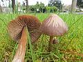2012-04-06 Entoloma vernum S. Lundell 211251.jpg