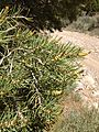 2013-06-27 14 56 57 Closeup of Single-leaf Pinyon foliage and pollen cones along BLM Road 1526 at 7580 feet on the northwestern slopes of Spruce Mountain, Nevada.jpg