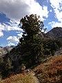 2013-09-16 16 05 02 Large Whitebark Pine at about 9480 feet along the Island Lake Trail in Lamoille Canyon, Nevada.jpg