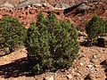 2013-09-23 14 41 45 Juniperus osteosperma along Capitol Reef Scenic Drive 5.1 miles from Utah State Route 24.JPG