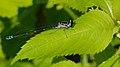 2013.06.27.-19-Ahrensberg-Fledermaus-Azurjungfer-Weibchen.jpg