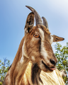 20130711 Goat IMG 7911.png