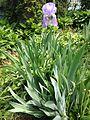 2014-05-14 11 43 37 Iris in bloom in Ewing, New Jersey.JPG