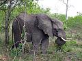 2014-11-23 066 Elefant (Elephantidae) anagoria.JPG