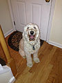 2014-12-19 18 00 26 A seven-year old female Goldendoodle.JPG