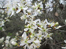 20140315Prunus spinosa.jpg