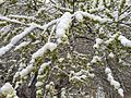 2015-04-08 07 34 35 A wet spring snow on Siberian Elm immature seeds along South 7th Street in Elko, Nevada.jpg