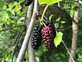 2017-05-29 16 21 37 Red Mulberry fruit at the intersection of Lees Corner Road (Virginia State Secondary Route 645) and Old Dairy Road in the Franklin Farm section of Oak Hill, Fairfax County, Virginia.jpg