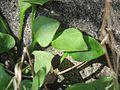 20170312Claytonia perfoliata2.jpg