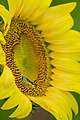 20170716-PJK-Sunflowers-0208TONED (35128727484).jpg