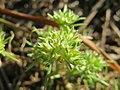 20171014Scleranthus annuus02.jpg