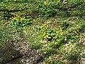 2019-04-25 (151) Caltha palustris (marsh-marigold) at Jägerlacke, Texingtal, Austria.jpg