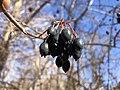 2019-11-26 12 48 30 Blackhaw Viburnum fruit along a walking trail in the Franklin Glen section of Chantilly, Fairfax County, Virginia.jpg