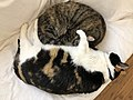 2020-03-11 10 04 32 A Tabby cat and a Calico cat cuddling on a couch in the Franklin Farm section of Oak Hill, Fairfax County, Virginia.jpg
