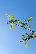 20200426 Destedt MagnoliaObovata Blaetter DSC01887 PtrQs.jpg